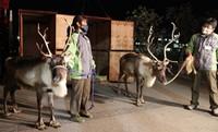 The reindeer that arrived at Kobe Animal Kingdom from Nasu Animal Kingdom are seen in Kobe's Chuo Ward on Dec. 1, 2020. (Mainichi/Chikako Kida)