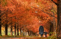 A parent and a child are seen walking down a street flanked by dawn redwood trees during the autumn foliage season in the Makinocho district of Takashima, Shiga Prefecture. (Mainichi/Naohiro Yamada)