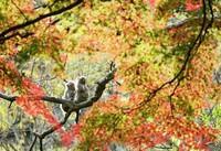 Japanese macaques are seen among autumn leaves at the Takasakiyama Natural Zoological Garden, in the city of Oita, on Dec. 9, 2020. (Mainichi/Osamu Sukagawa)