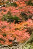 A Japanese macaque is seen among autumn leaves at the Takasakiyama Natural Zoological Garden, in the city of Oita, on Dec. 9, 2020. (Mainichi/Osamu Sukagawa)