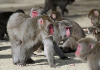 Japanese macaques with reddish faces, indicating they are in mating season, are seen at the Takasakiyama Natural Zoological Garden, in the city of Oita, on Dec. 9, 2020. (Mainichi/Osamu Sukagawa)
