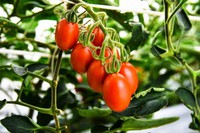 "This photo provided by Sanatech Seed Co. shows the new ""Sicilian Rouge High-GABA"" variety of genome-edited tomatoes containing a high level of gamma-aminobutyric acid."