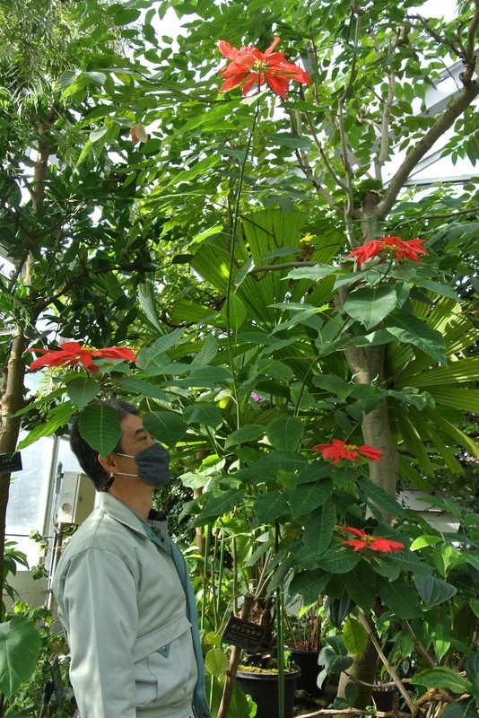 Poinsettia Plant In Japan Garden Reveals True Nature After Growing 2 Meters Tall The Mainichi
