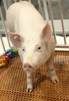 This undated photo provided by Revivicor, Inc., a unit of United Therapeutics, shows a genetically modified pig. (Revivicor, Inc. via AP)