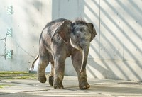 """A young Asian elephant, who was recently named """"Arun,"""" is shown in this photo taken on Dec. 13, 2020, provided by the Tokyo Zoological Park Society."""
