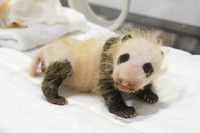 A panda cub who has turned out to be a female is seen at Adventure World in the town of Shirahama, Wakayama Prefecture, on Dec. 20, 2020. (Photo courtesy of the zoo)