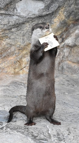 Azuki, an Asian short-clawed otter, is seen holding a sign board with its pawprint on it at Umitamago aquarium in the city of Oita on Dec. 12, 2020. (Mainichi/Hyelim Ha)