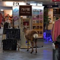 新型コロナウイルスの感染拡大で外出を控える人が増え、午後8時にもかかわらず閑散とする駅近くの街中で食べ物を探し回る奈良公園の鹿=奈良市で2020年4月1日、平川義之撮影