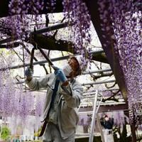 刈り取られ、集められた藤の花=福岡県八女市黒木町で2020年4月28日午後2時43分、須賀川理撮影