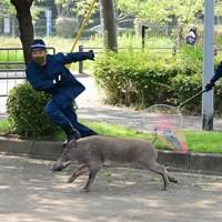 大濠公園の駐車場で逃げるイノシシを追う警察官=福岡市で2020年8月5日午前9時46分、須賀川理撮影