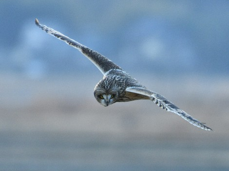 Japan Photo Journal: Bird watchers' favorite migrant owls pay seasonal visit