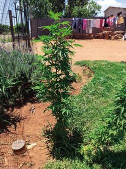 庭先で栽培されている大麻草(ヨハネスブルクの民家で) 筆者撮影