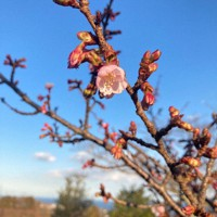 開花した日立紅寒桜。見ごろは3月上旬という=茨城県日立市宮田町のかみね公園で、田内隆弘撮影