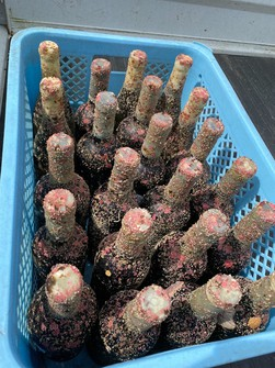 Undersea aged wine with barnacles is seen in this photo provided by Hiroshi Deguchi. (Photo courtesy of Hiroshi Deguchi)