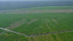 インドネシア・スマトラ島の製紙用植林地=WWF提供