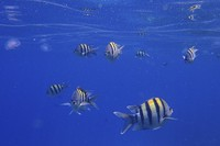 In this June 28, 2015 file photo, sergeant major fish, a type of damselfish, swim near the surface of the Red Sea in the resort town of Sharm el-Sheikh, south Sinai, Egypt. (AP Photo/Hassan Ammar)