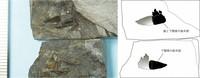 The fossils found in Ono, Fukui Prefecture are shown. (Photo courtesy of the Fukui Prefectural Dinosaur Museum)