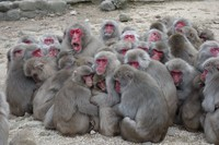 Japanese macaques are seen forming a huddle at Choshikei Monkey Park in Tonosho, Kagawa Prefecture. The highest-ranking male with his mouth wide open is in the center left. (Photo courtesy of Shintaro Ishizuka at Kyoto University's Primate Research Institute)
