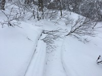 Trees apparently downed by a snowmobile are seen near Mount Iwaki's eighth station, in Aomori Prefecture. (Photo courtesy of the Shirakami-Sanchi Guide Club)