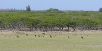 This image provided by Honolulu Civil Beat shows axis deer grazing in a field near Hoolehua, Hawaii on the island of Molokai, Jan. 15, 2021. (Cory Lum/Honolulu Civil Beat via AP)