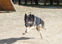 The Hyogo Prefectural Police German shepherd is seen running in this February 2021 photo provided by the police.