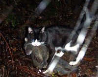 A cat, apparently feral, is seen with an Amami rabbit it caught in a mountain on Amami-Oshima Island in Kagoshima Prefecture. (Photo courtesy of the Ministry of the Environment's Amami Wildlife Center)
