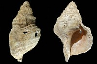 This combination of photos provided by researcher Carole Fritz in February 2021 shows two sides of a 31 cm conch shell discovered in a French cave with prehistoric wall paintings in 1931. (Carole Fritz via AP)