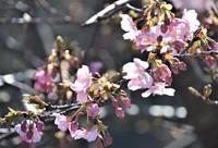 Kawazu cherry blossoms are seen at the parking lot of Hiroyama Park in Zushi, Kanagawa Prefecture, on Feb. 10. (Mainichi)