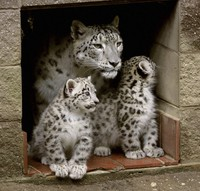 In this July 15, 2010, file photo, two snow leopard cubs born two months earlier stand next to their mother, Himani, at the entrance to their den at the Cape May County Zoo in Cape May Court House, N.J. (Dale Gerhard/The Press of Atlantic City via AP)