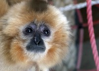 A gibbon is seen inside his enclosure at a zoo in Sarajevo, Bosnia, on Feb. 15, 2021. (AP Photo/Eldar Emric)
