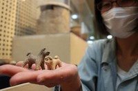 Unearthed dog figurines that may have been toys belonging to a buried child are seen at the Archaeological Research Center, Nara City, on Feb. 15, 2021. (Mainichi/Akira Inoh)