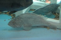 This 2007 file photo shows black rockfish. (Mainichi)