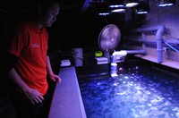Shuhei Ikeda checks the health of jellyfish from above a huge tank at Tsuruoka City Kamo Aquarium in Yamagata Prefecture on Feb. 18, 2021. (Mainichi/Rika Chonan)
