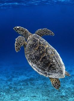 This 2014 file photo shows a hawksbill turtle off the coast of Zamami island of Okinawa Prefecture. (Mainichi/Masashi Mimura)