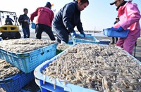 Juvenile sand eels are seen at Hayashizaki Fishing Port in Akashi, Hyogo Prefecture, on March 5, 2019. (Mainichi/Kazuki Yamazaki)