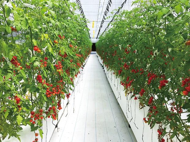 独自のノウハウで生産する高糖度ミニトマトの栽培ハウス OSMIC提供