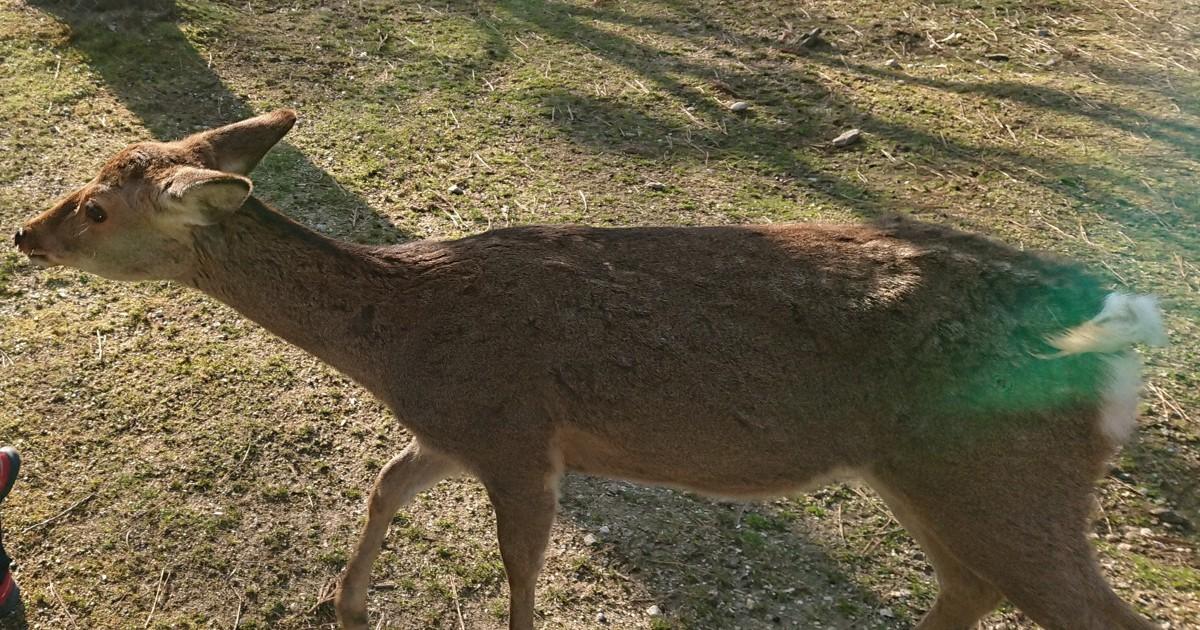 """Homem de Mie é preso por matar cervo """"sagrado"""" em Nara"""