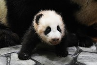 This photo shows a baby giant panda, whose name will be chosen by a public vote, in Shirahama, Wakayama Prefecture, on March 2, 2021. (Photo courtesy of Adventure World)