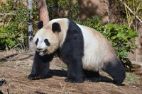 Shin Shin, a 15-year-old female panda, is seen is this photo taken on Feb. 20, 2021. (Photo courtesy of Tokyo Zoological Park Society)