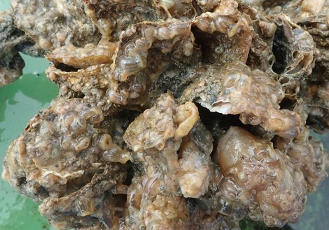 This photo shows oysters with sea anemones attached. (Photo courtesy of the Saga Prefectural Ariake Fisheries Research and Development Center)