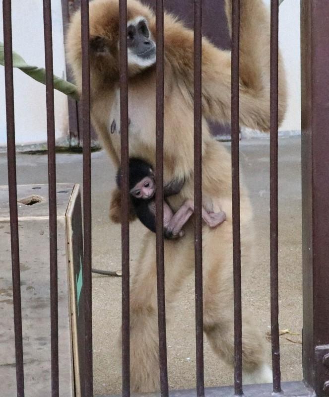 【処女懐胎】テナガザルが謎の出産 おりに1頭だけ飼育なのに「なぜ」 長崎
