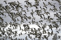 In this Dec. 13, 2019, file photo, thousands of snow geese take flight over a farm field at their winter grounds, in the Skagit Valley near Conway, Wash. (AP Photo/Elaine Thompson)