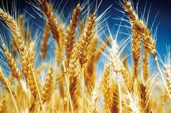 黄金色に実る小麦の穂 豪連邦科学産業機構(CEIRO)提供