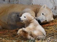 Ho-chan the polar bear cub, foreground, and her mother Icchan are seen at Osaka Tennoji Zoo in the city of Osaka on March 22, 2021. (Mainichi/Takao Kitamura)