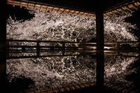Illuminated cherry blossoms are reflected on the floor of a moon-viewing stage at Mii-dera temple in Otsu, Shiga Prefecture, on March 26, 2021. (Mainichi/Kenichi Isono)