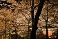 Cherry blossoms around Bishamon-do hall are illuminated at Mii-dera temple in Otsu, Shiga Prefecture, on March 26, 2021. (Mainichi/Kenichi Isono)