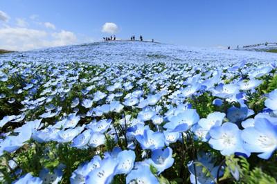 「みはらしの丘」に咲くネモフィラの花=茨城県ひたちなか市の国営ひたち海浜公園で2021年4月11日午後0時38分、吉田航太撮影