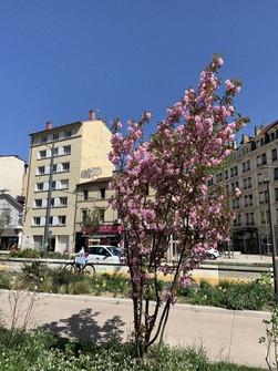 リヨンの街角を彩る八重桜らしき桜=筆者撮影