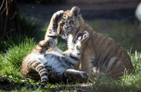 In this photo provided by the Cleveland Metroparks Zoo, two of three new tiger cubs play in an exhibit as they made their public debut on April 14, 2021, at the Cleveland Metroparks Zoo in Cleveland. (Kyle Lanzer/Cleveland Metroparks Zoo via AP)