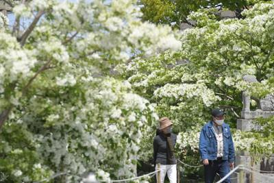 真っ白な花が新緑に映えるヒトツバタゴ=福岡県芦屋町の岡湊神社で2021年4月15日、上入来尚撮影